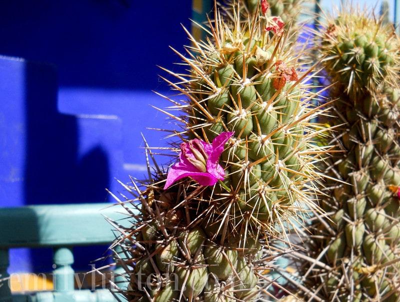 Cacti at Jardins Majorelle
