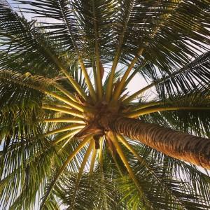Palm Tree, Phu Quoc, Vietnam