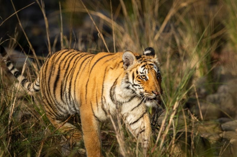 bengal tiger uttarakhand India