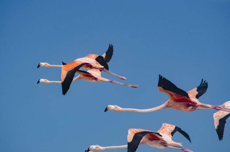 Flamingos flying against blue sky