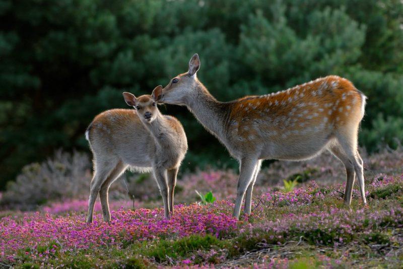 Sika deer Arne Dorset