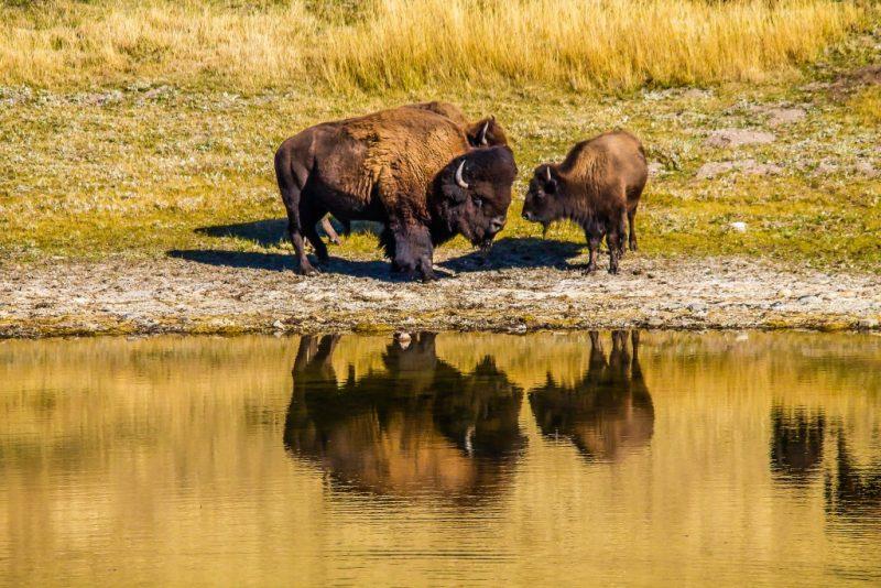 bison alberta canada