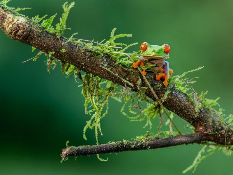 Treefrog costa rica