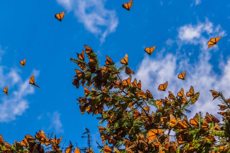 Monarch Butterflies near Angangueo Michoacan